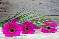 Three pink gerbera on a wooden table Royalty Free Stock Photography