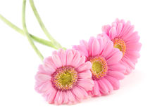 Three pink gerberas Stock Photography