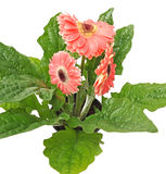 Three pink gerberas with green  leafs Stock Photography