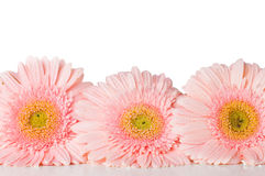 Three pink gerberas Stock Photos