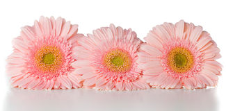 Three pink gerberas Royalty Free Stock Photos