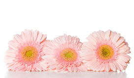 Three pink gerberas Royalty Free Stock Photography