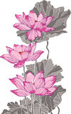 Three pink grey lotus drawing Stock Photos