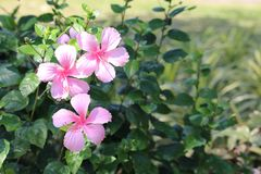 Three pink Hibiscus Royalty Free Stock Images