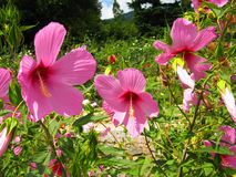 Three pink hibiscuses (syrian roses) Royalty Free Stock Photo