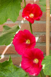 Three pink hollyhocks against a wall. Three beautiful pink hollyhocks in a garden Royalty Free Stock Photography