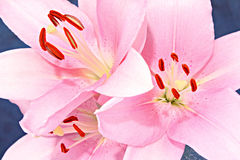Three Pink Lilies Royalty Free Stock Image