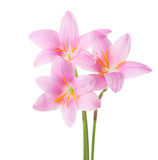 Three pink lilies Stock Photography