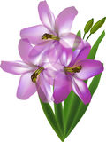 Three pink lily flowers isolated on white background Stock Image