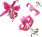 Three pink lily flowers isolated on white Royalty Free Stock Photography
