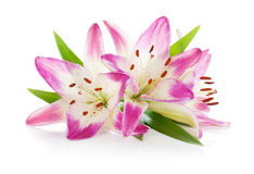 Three pink lily. Isolated on white background Royalty Free Stock Photos