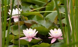 Three pink lily pad flowers. Blooming in a pond with cattail stems Royalty Free Stock Photos