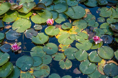 Three Pink Lotuses On A Pond Royalty Free Stock Photos