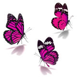 Three pink monarch butterfly. Isolated on white background stock images