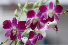 Three Pink orchid Stock Image