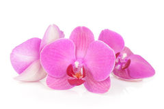 Three pink orchid flowers Royalty Free Stock Photography