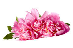 Three pink peonies Stock Photo