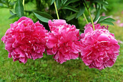 Three pink peonies on green background Stock Photography