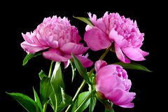 Three pink peony. Stock Photos