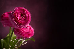 Three pink persian buttercup on dark background Stock Images