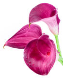 Three pink, purple calla lilly flowers isolated. On white, bouquet Royalty Free Stock Photos