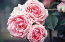 Three pink rose flowers standing alone royalty free stock photos