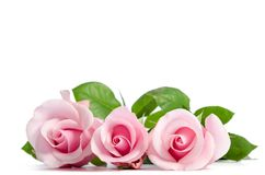 Three pink rose lying on white Stock Photo