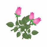 Pink Rosebuds on White Stock Photos