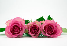 Three pink roses. Three pink roses on a white background Royalty Free Stock Images