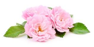 Three Pink Roses. Royalty Free Stock Image