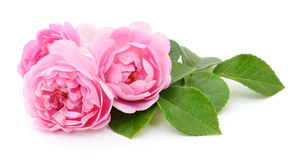 Three Pink Roses. Stock Images