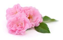 Three Pink Roses. Royalty Free Stock Photos
