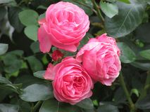 Three pink roses. Three buds of roses on a branch Stock Images