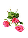 Three pink roses Royalty Free Stock Image