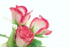 Three pink roses. Isolated, white background, close-up Stock Photography