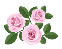 Three pink roses with leaves on white. Stock Images