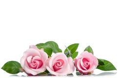 Three pink roses lying on white background Stock Photos