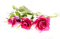 Three pink roses with some green coming out. A rose is a woody perennial flowering plant of the genus Rosa, in the family Rosaceae, or the flower it bears. There stock photo