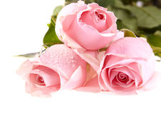 Three pink roses with water drops. Royalty Free Stock Image