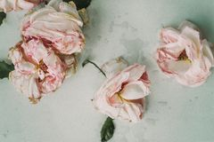 Three Pink Roses on White Table Stock Photos