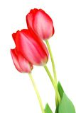 Three pink tulips Royalty Free Stock Images