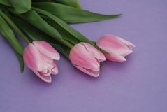 Three Pink Tulips bouquet, over Purple Background with copy space. Top view. flat Lay. Spring time. Stock Photography