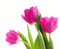 Three pink tulips (close-up) Royalty Free Stock Photography