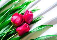 Three pink tulips Stock Photos