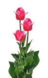 Three pink tulips Stock Images