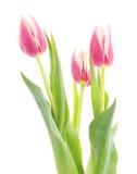 Three pink tulips. Royalty Free Stock Image
