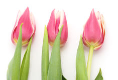 Three pink tulips. Stock Images