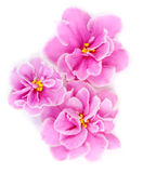 Three pink violets Stock Photo