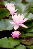 Three pink water lilies on leaves. Three pink water lilies on the leaves in water Royalty Free Stock Images