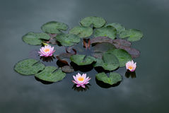 Three Pink Water Lily Royalty Free Stock Images